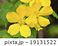 山吹 バラ科 山野草の写真 19131522