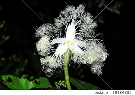 野の花:カラスウリの花:夜行性の花。淀川河川敷、大阪府枚方市 19134886