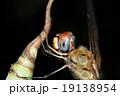小枝 枝 昆虫の写真 19138954