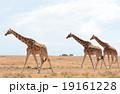 キリンの群れ 19161228