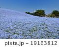 ネモフィラ 花畑 ひたち海浜公園の写真 19163812