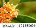 キンモクセイ 植物 花の写真 19165064
