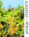 キンモクセイ 植物 花の写真 19165075