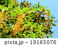 キンモクセイ 植物 花の写真 19165076