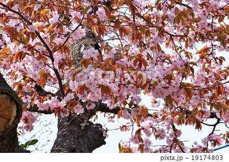 ピンク色の彼岸桜 19174803