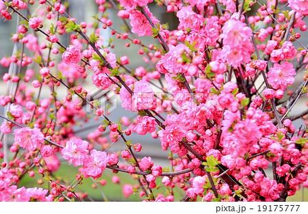 鮮やかなピンクの彼岸桜 19175777