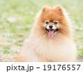 笑うポメラニアン 19176557