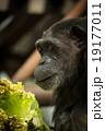 チンパンジー 19177011