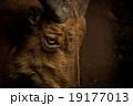 ヤギ 19177013