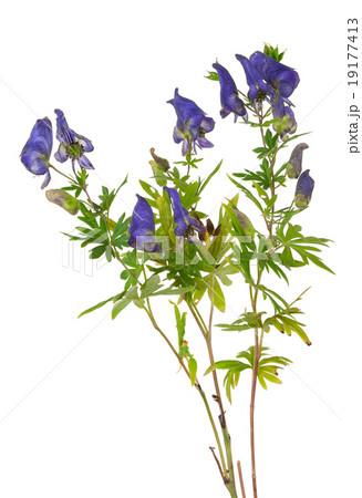 Medicinal plantの写真素材 [19177413] - PIXTA