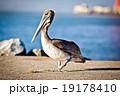 ペリカン モモイロペリカン 鳥の写真 19178410