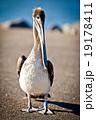 ペリカン モモイロペリカン 鳥の写真 19178411