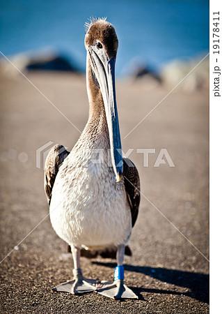 American pelican 19178411