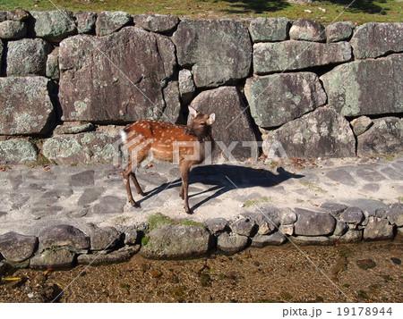 じっと見つめる一頭の鹿 19178944