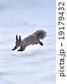 雪原を駆ける 19179432