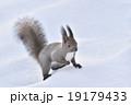 雪の中のエゾリス 19179433