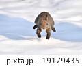雪原を駆ける 19179435