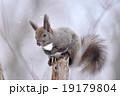 冬のエゾリス 19179804
