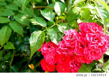 真っ赤なバラ科のレインドロップ  19214014