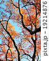もみじ 紅葉 カエデの写真 19214876
