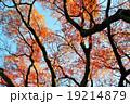 もみじ(根香寺) 19214879