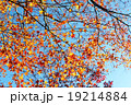 もみじ 紅葉 カエデの写真 19214884