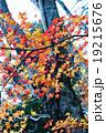 もみじ(根香寺) 19215676