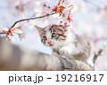 子猫と桜 19216917