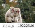 ニホンザル 19222380