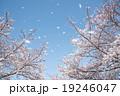 桜 桜吹雪 花の写真 19246047