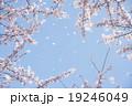 桜 桜吹雪 花の写真 19246049