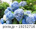 Blue Hydrangea flower 19252716