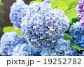 Blue Hydrangea flower 19252782