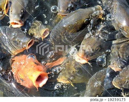 池の鯉たち/昭和記念公園 19259175