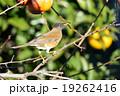 アカハラ 小鳥 ツグミ科の写真 19262416