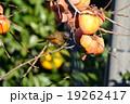 アカハラ 小鳥 柿の写真 19262417