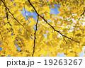 黄葉するイチョウ 19263267