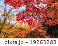 愛知県民の森の紅葉 19263283