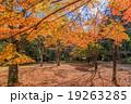 愛知県民の森の紅葉 19263285