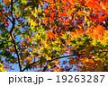 愛知県民の森の紅葉 19263287