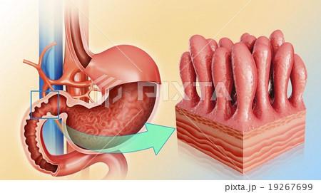Stomach and intestinal wall, illustration 19267699
