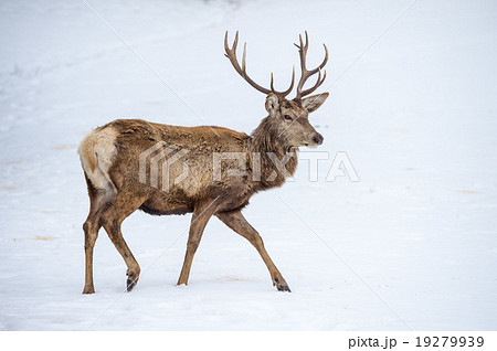 male deer portrait while looking at you 19279939