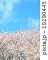 桜 19290445