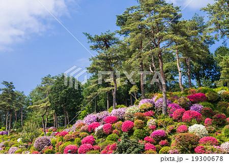 陽春つつじ園と赤松 19300678