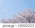 桜 桜吹雪 花吹雪の写真 19302223