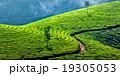 お茶 茶 茶畑の写真 19305053