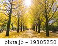 【東京都】光が丘公園のイチョウ並木 19305250