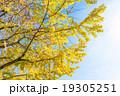 【東京都】光が丘公園のイチョウ並木 19305251