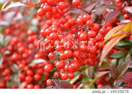 縁起木 ・ 南天の赤い実 1 19310079
