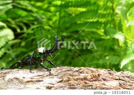 ニジイロクワガタの森の樹木の上での写真素材 [19318051] - PIXTA